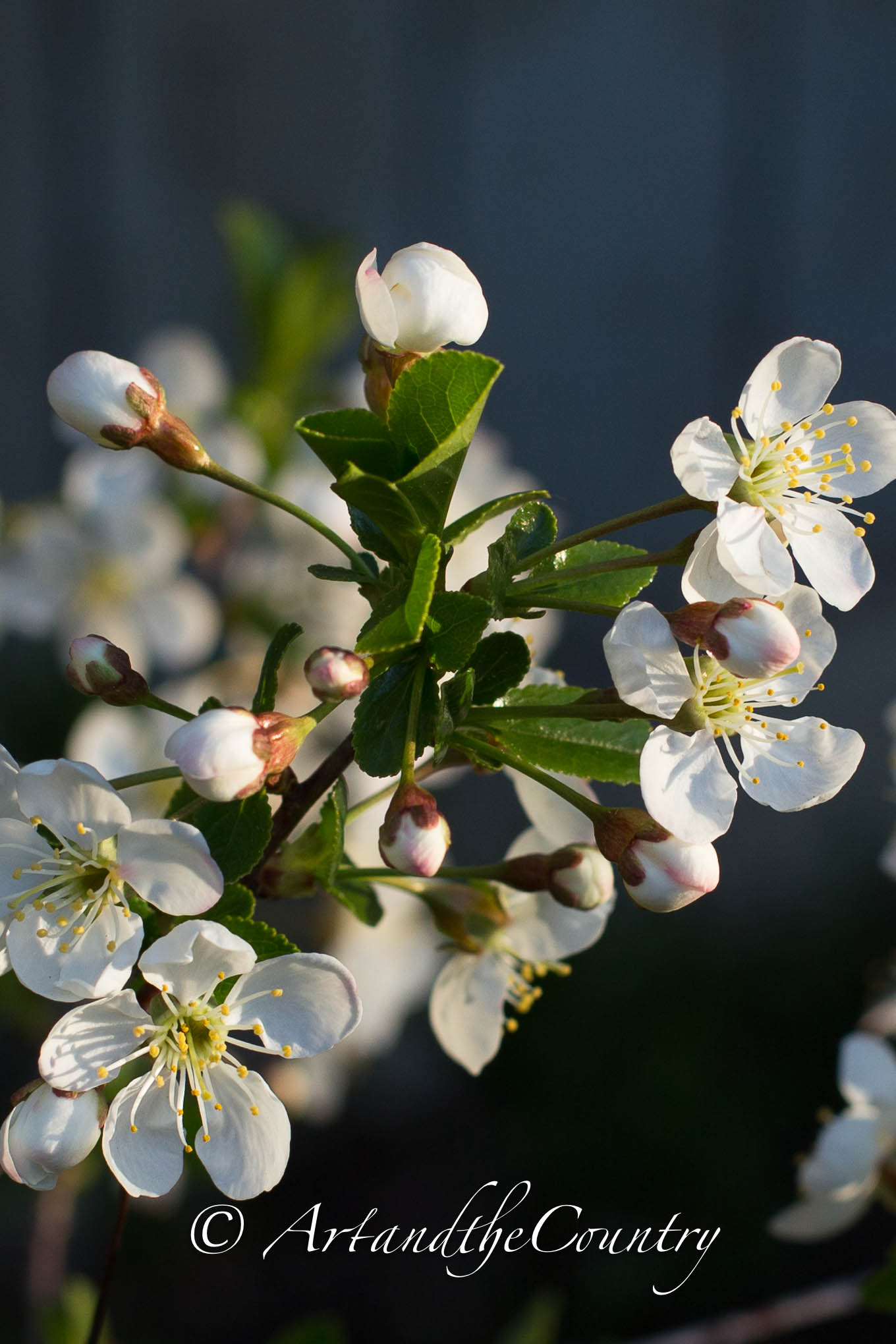 sour cherry tree blossoms